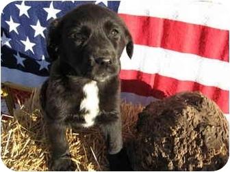 Border Collie/Labrador Retriever Mix Puppy for adoption in Marion, North Carolina - PANDORA