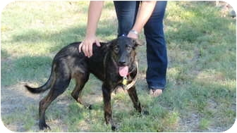 Shepherd (Unknown Type) Mix Dog for adoption in San Angelo, Texas - Memphis