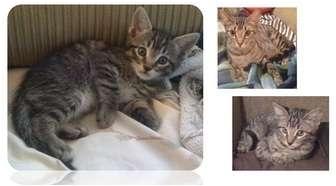Domestic Shorthair Kitten for adoption in Haughton, Louisiana - Tracy's kittens URGENT!