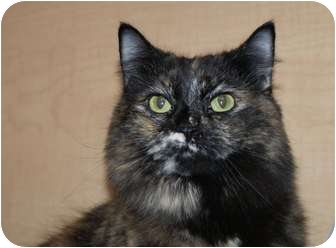 Domestic Longhair Cat for adoption in Berlin, Connecticut - Bianca-adopted !!