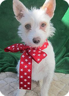 Westie, West Highland White Terrier/Terrier (Unknown Type, Small) Mix Puppy for adoption in Long Beach, California - NADIA