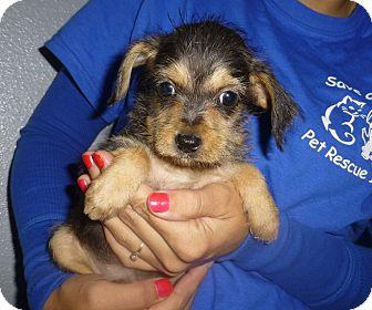Dachshund/Schnauzer (Miniature) Mix Puppy for adoption in Oviedo, Florida - Shanna