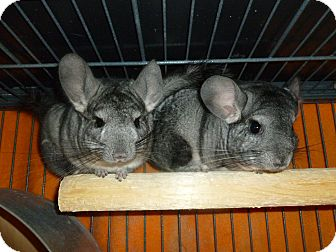 Chinchilla for adoption in Jacksonville, Florida - Cheeky & Misty