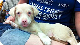 Chihuahua/Jack Russell Terrier Mix Puppy for adoption in Studio City, California - Snowball (Albino)