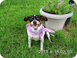 Fox Terrier (Smooth) Mix Dog for adoption in Byhalia, Mississippi - Trixie