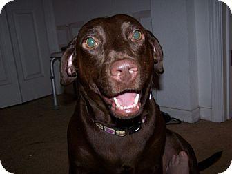 Labrador Retriever Mix Dog for adoption in Largo, Florida - Jingles