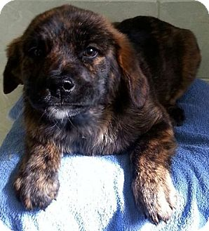 Golden Retriever/Cattle Dog Mix Puppy for adoption in River Falls, Wisconsin - Budweiser