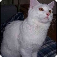 Adopt A Pet :: Q-Tip (deaf) - Feeding Hills, MA