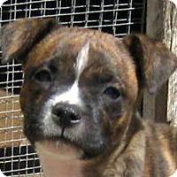 Adopt A Pet :: Baby Ollie - Oakley, CA