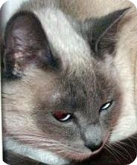 Siamese Cat for adoption in HILLSBORO, Oregon - Blossom