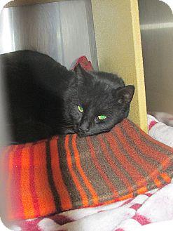 Domestic Shorthair Cat for adoption in Pueblo West, Colorado - Tres