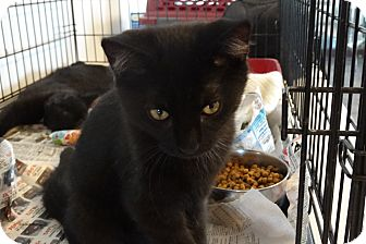 Domestic Shorthair Kitten for adoption in Elyria, Ohio - Clyde