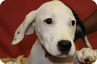 Labrador Retriever Mix Puppy for adoption in Waldorf, Maryland - Xenon