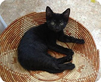Domestic Shorthair Kitten for adoption in Ridgewood, New York - OLIVE