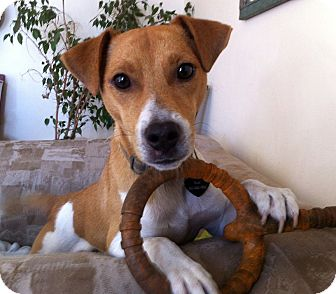 Smooth Fox Terrier/Jack Russell Terrier Mix Puppy for adoption in San Francisco, California - Kobe