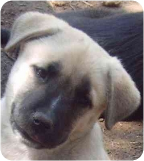 German Shepherd Dog/Labrador Retriever Mix Puppy for adoption in Dripping Springs, Texas - Milis