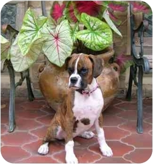 Boxer Puppy for adoption in toledo, Ohio - Bruiser