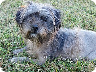 Shih Tzu Mix Dog for adoption in West Deptford, New Jersey - Candy