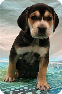Labrador Retriever/Beagle Mix Puppy for adoption in Staunton, Virginia - Abe
