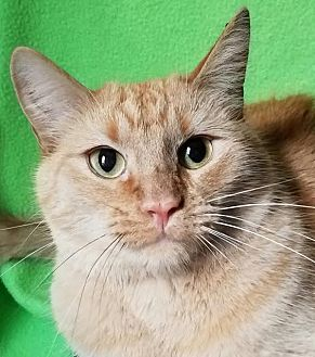Domestic Shorthair Cat for adoption in Colfax, Iowa - Chaz
