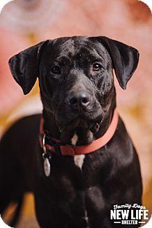 Labrador Retriever Mix Dog for adoption in Portland, Oregon - Cubbie