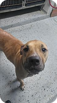 Boxer/Australian Cattle Dog Mix Dog for adoption in Hazel Park, Michigan - Sadie