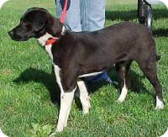 Labrador Retriever Mix Dog for adoption in Palatine/Kildeer/Buffalo Grove, Illinois - Lacey