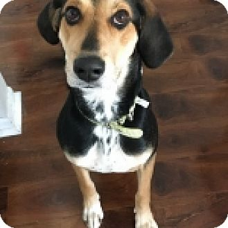 Black and Tan Coonhound/Hound (Unknown Type) Mix Puppy for adoption in St. Charles, Illinois - Dixie