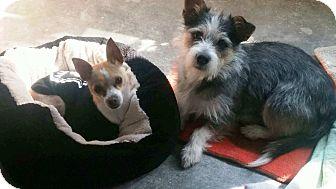 Chihuahua Mix Dog for adoption in Qualicum Beach, British Columbia - Winston