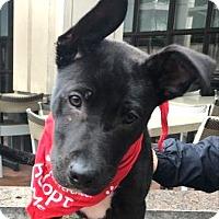 Adopt A Pet :: Pup Littlefoot - Rockville, MD