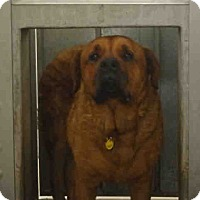 Adopt A Pet :: Duke #A1496878 @ South LA - Beverly Hills, CA