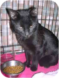 Domestic Shorthair Cat for adoption in Byron Center, Michigan - Nigel