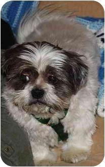 Shih Tzu Mix Dog for adoption in Homer, New York - Jimmy