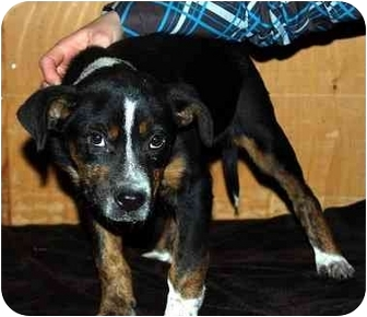 Australian Cattle Dog/Boxer Mix Puppy for adoption in Broomfield, Colorado - Ellie