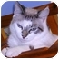 Photo 2 - Siamese Kitten for adoption in San Clemente, California - TOBY = Good w/Small Kids!