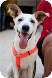 Shepherd (Unknown Type)/Labrador Retriever Mix Dog for adoption in Houston, Texas - Murphy