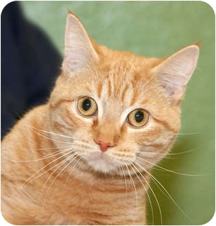 Domestic Shorthair Cat for adoption in Howell, Michigan - Pumpkin