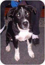 Border Collie/Labrador Retriever Mix Dog for adoption in Sterling, Kansas - Rocky