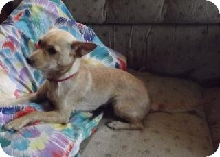 Chihuahua/Terrier (Unknown Type, Small) Mix Dog for adoption in Edon, Ohio - ChiChi..ADOPTED