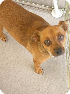 Terrier (Unknown Type, Small) Mix Dog for adoption in Las Vegas, Nevada - Joe Joe