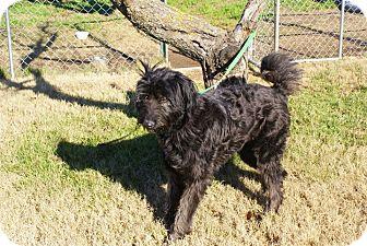Poodle (Standard)/Labrador Retriever Mix Dog for adoption in Yuba City, California - 12/21 Willow
