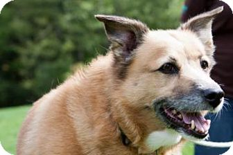Corgi Dog for adoption in Novelty, Ohio - Gilda