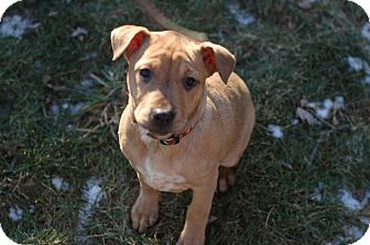 German Shepherd Dog/Rottweiler Mix Puppy for adoption in Wethersfield, Connecticut - Rollie