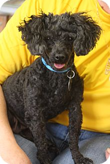 Poodle (Miniature) Mix Dog for adoption in Homewood, Alabama - Florene