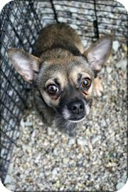 Chihuahua Dog for adoption in Anderson, Indiana - Gizmo