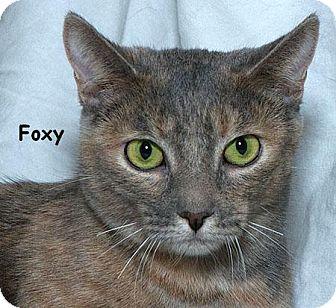 Domestic Shorthair Cat for adoption in Sacramento, California - Foxy B