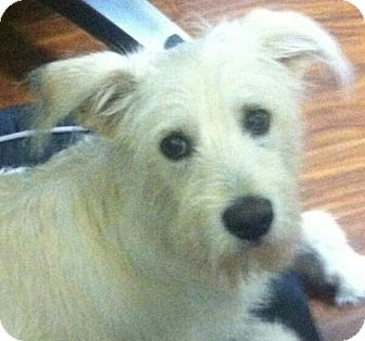 Terrier (Unknown Type, Medium) Mix Puppy for adoption in Windham, New Hampshire - Marley