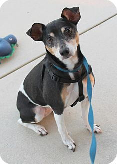 Rat Terrier Mix Dog for adoption in Bunnell, Florida - Cookie