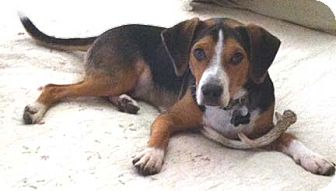 Beagle Mix Dog for adoption in Houston, Texas - Billy
