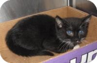 Domestic Shorthair Kitten for adoption in Stillwater, Oklahoma - Highway